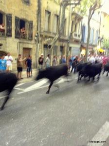Bulls in Uzes