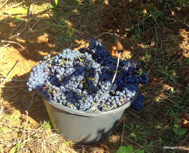 Bucket brimming with grapes ready to be sorted by hand