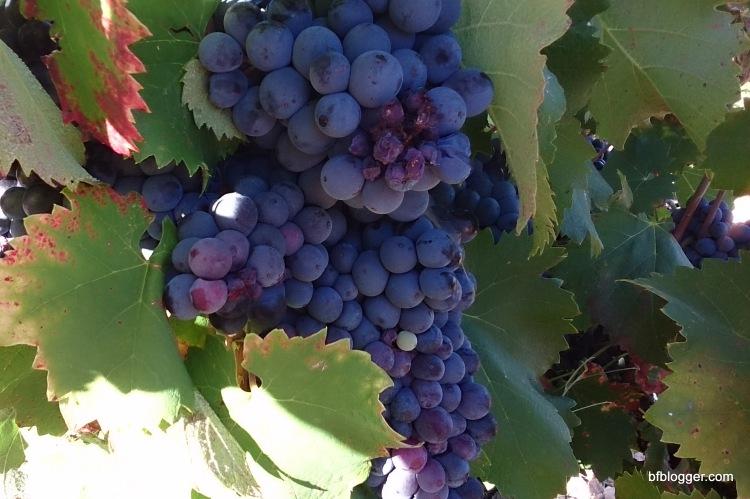 Grape picking at La Gramière