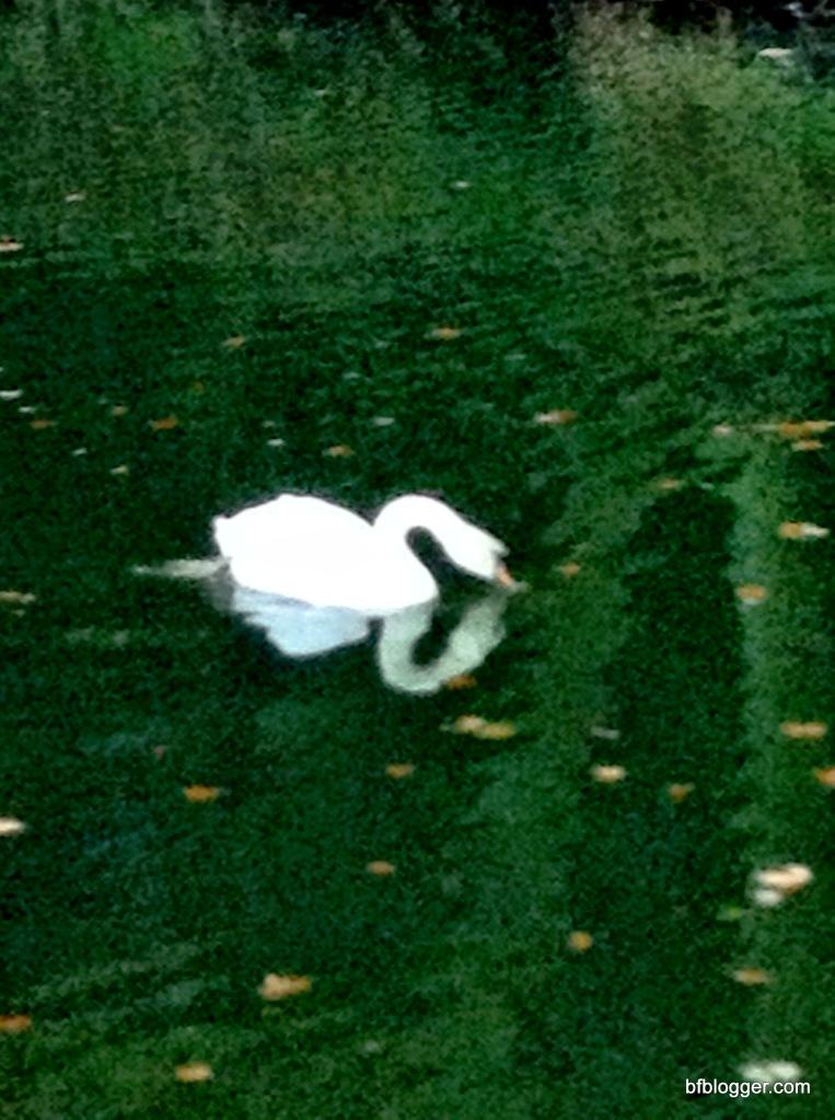 Swan at Valle d'Eur Uzes France