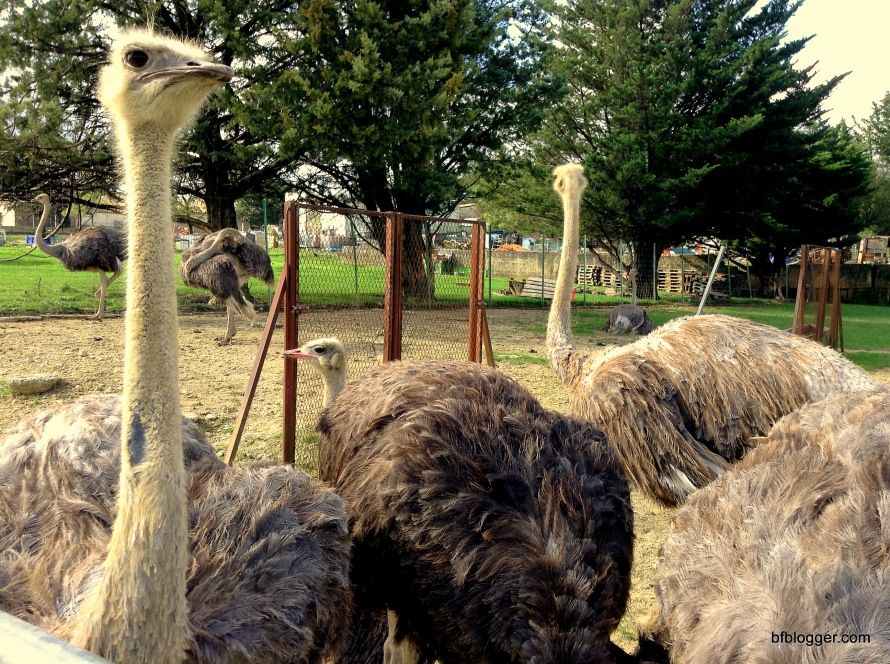 Ostriches at farm outside Uzes