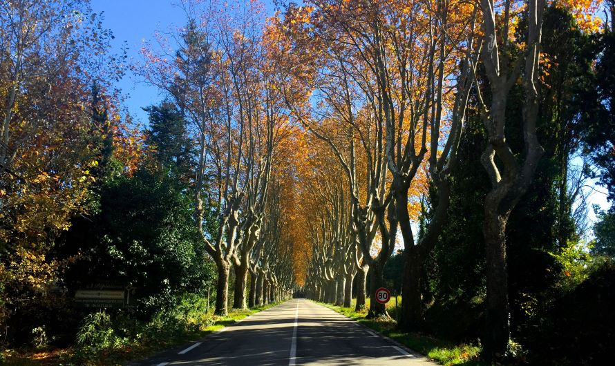 Plane trees in Provence